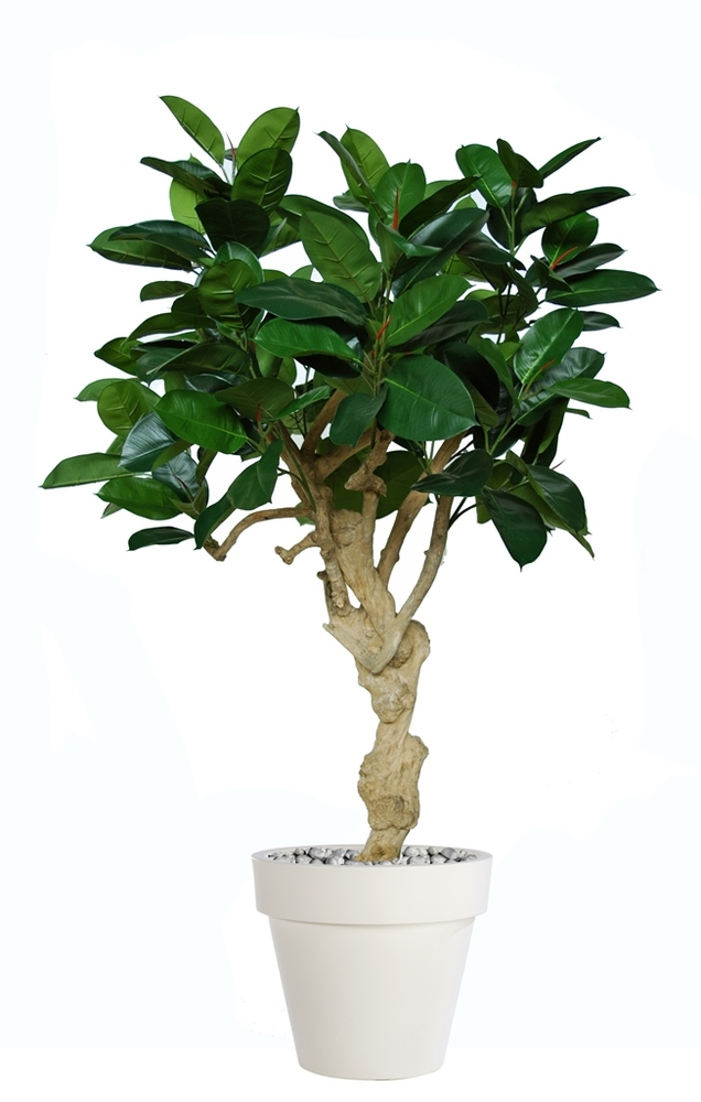 Ficus Elastica Crown